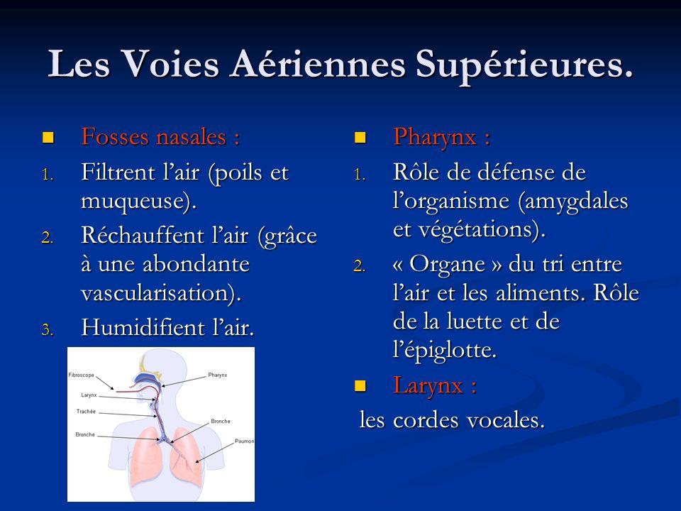 Les Voies Aériennes Supérieures.