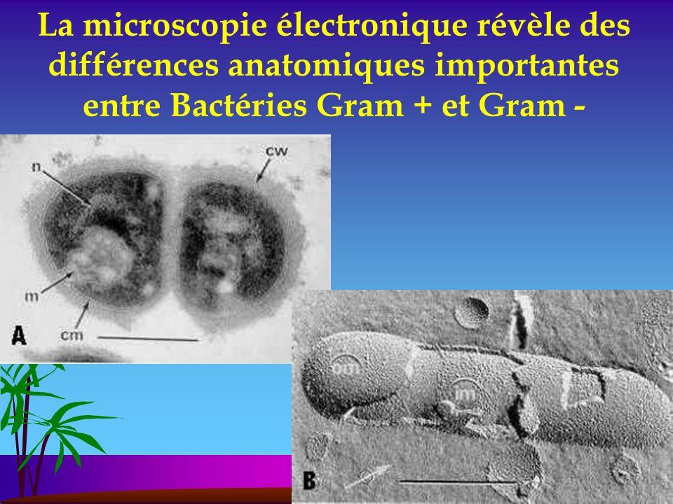 La microscopie électronique révèle des différences anatomiques importantes entre Bactéries Gram + et Gram -