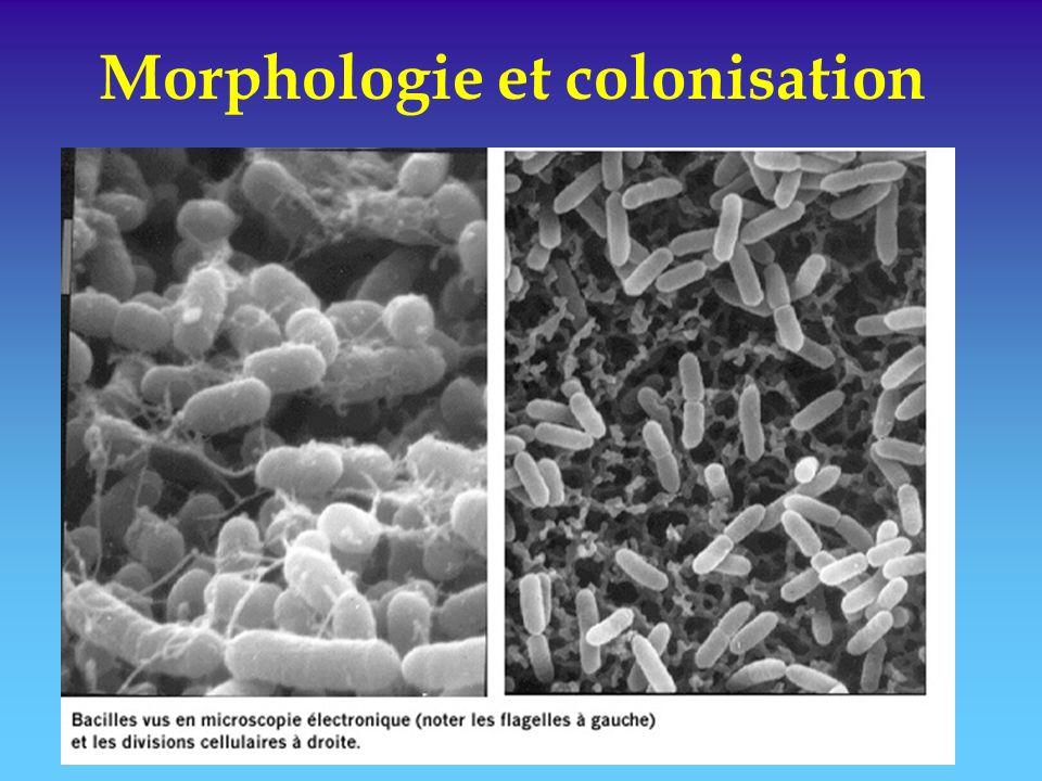 Morphologie et colonisation