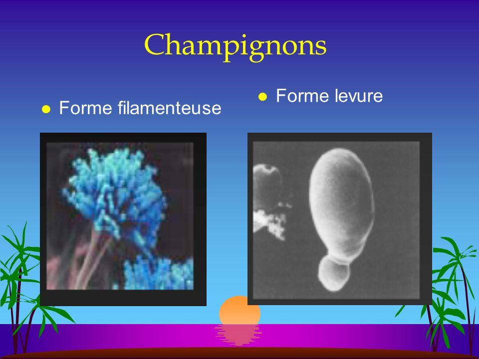 Champignons Forme levure Forme filamenteuse