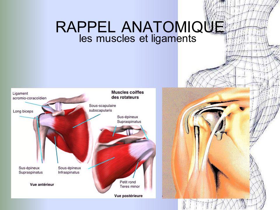 les muscles et ligaments