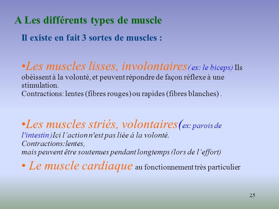Le muscle cardiaque au fonctionnement très particulier
