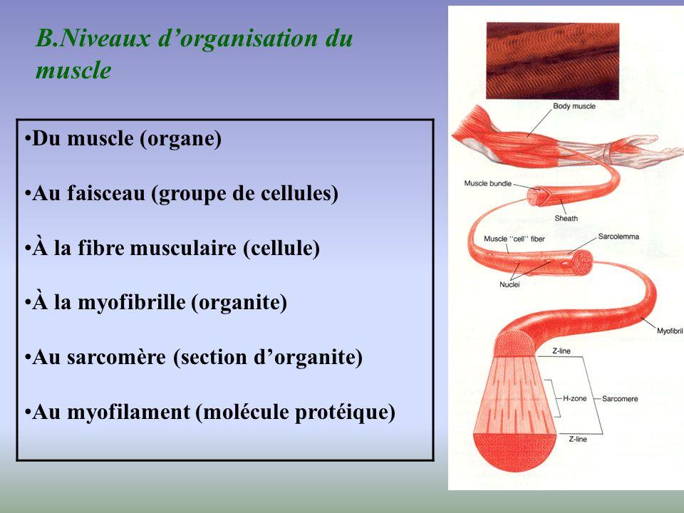 B.Niveaux d'organisation du muscle
