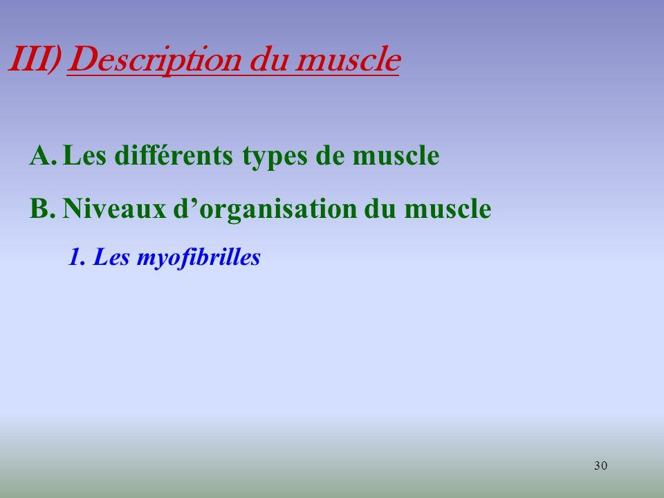 III) Description du muscle