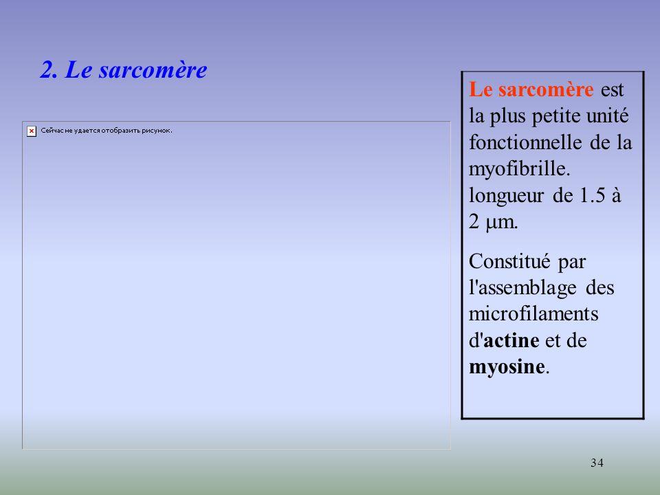 2. Le sarcomère Le sarcomère est la plus petite unité fonctionnelle de la myofibrille. longueur de 1.5 à 2 mm.