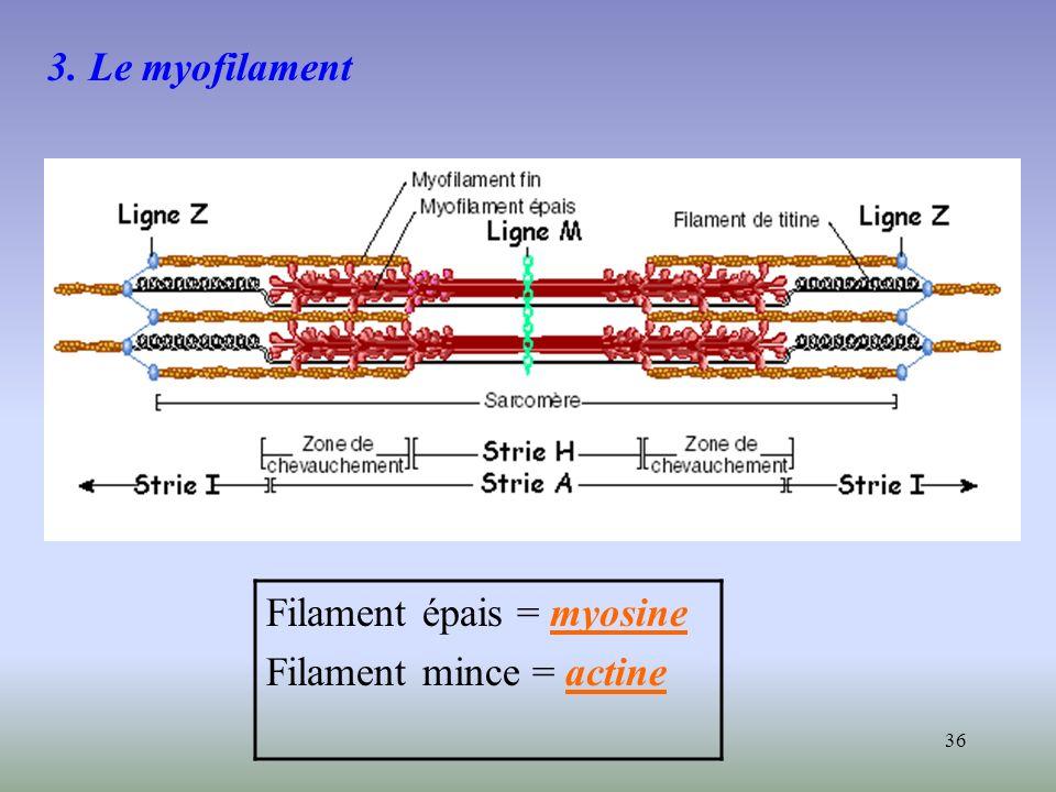 3. Le myofilament Filament épais = myosine Filament mince = actine
