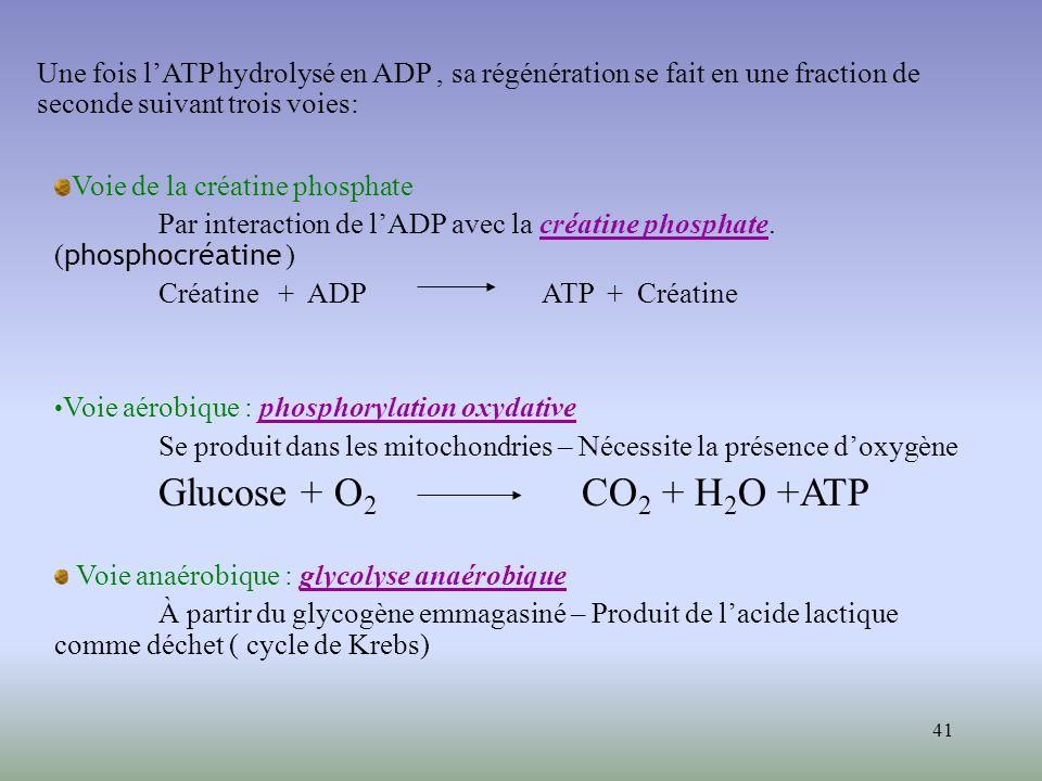 Une fois l'ATP hydrolysé en ADP , sa régénération se fait en une fraction de seconde suivant trois voies: