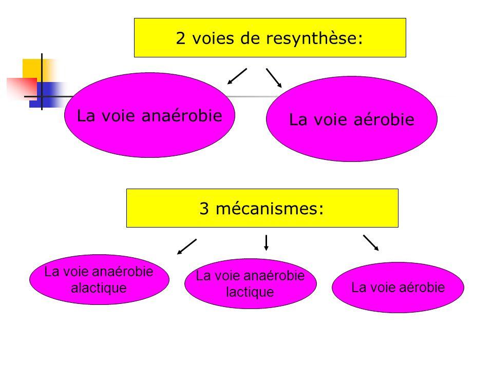 2 voies de resynthèse: La voie anaérobie La voie aérobie 3 mécanismes: