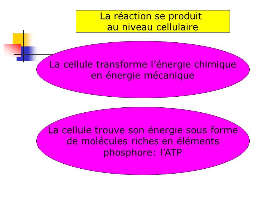 La cellule transforme l'énergie chimique en énergie mécanique