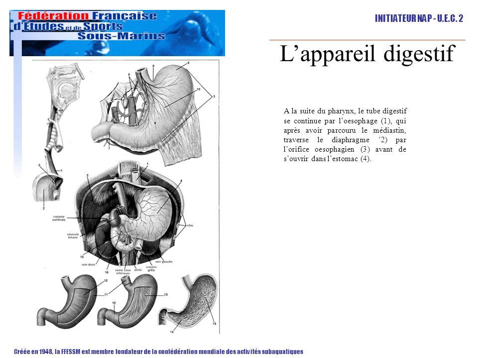 L'appareil digestif