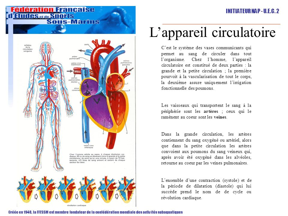 L'appareil circulatoire