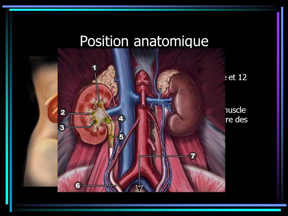 Position anatomique Rapports post avec 11eme et 12 eme cotes