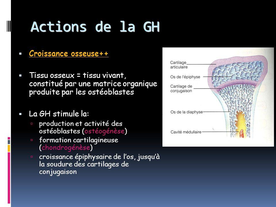 Actions de la GH Croissance osseuse++