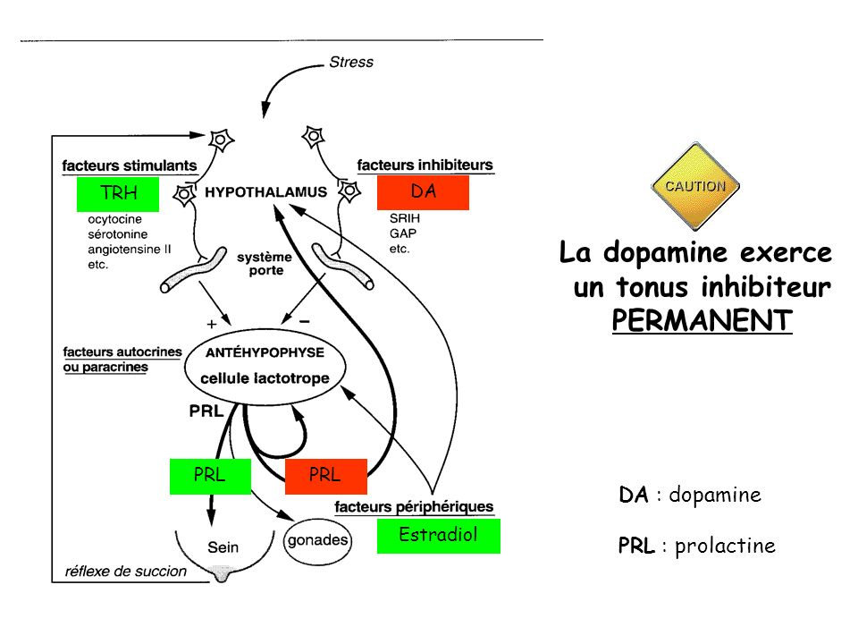 La dopamine exerce un tonus inhibiteur PERMANENT
