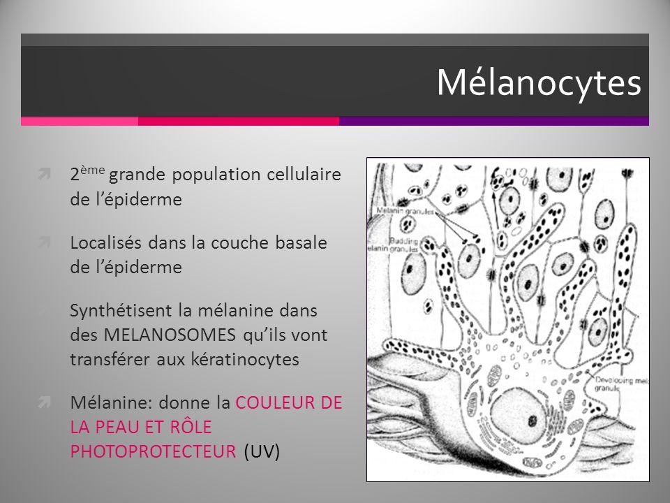 Mélanocytes 2ème grande population cellulaire de l'épiderme