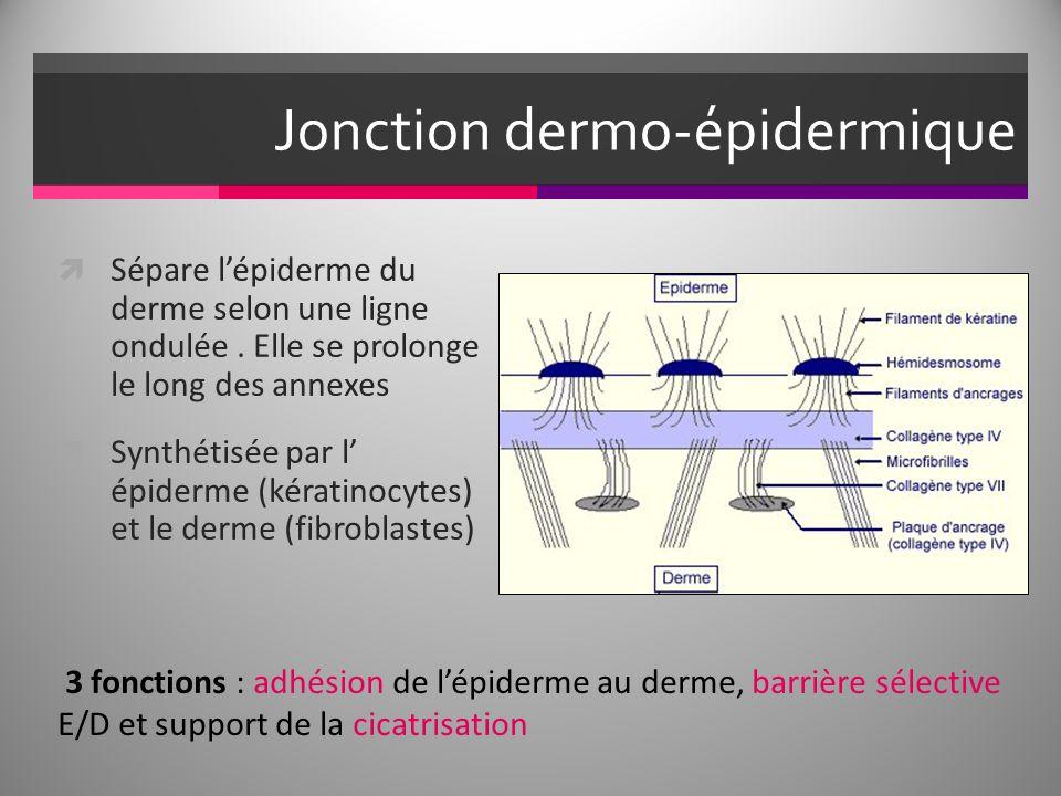 Jonction dermo-épidermique