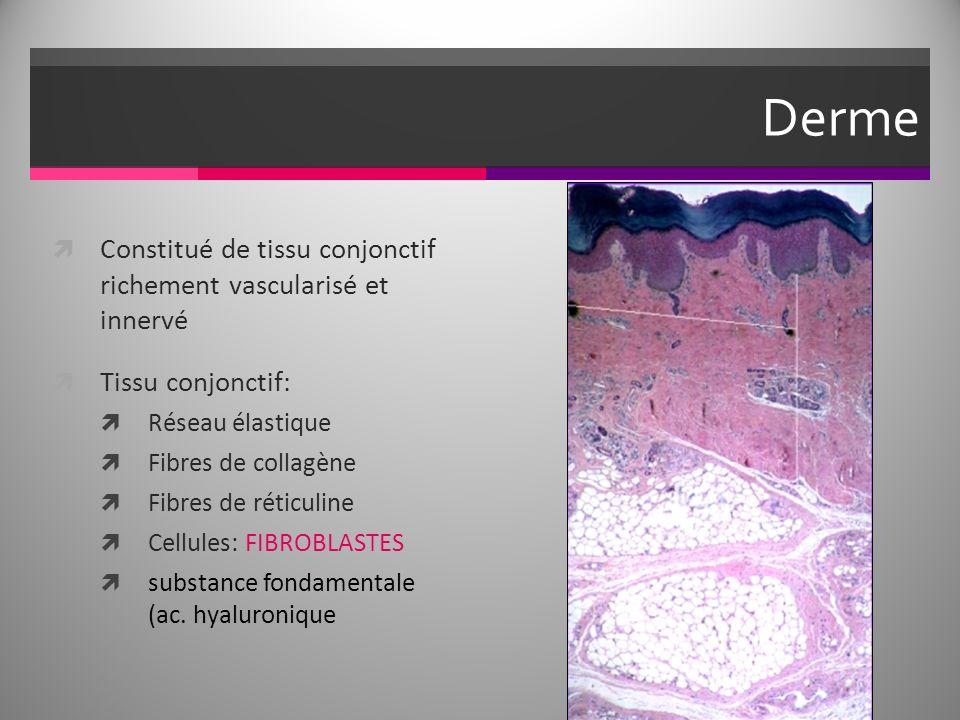 Derme Constitué de tissu conjonctif richement vascularisé et innervé