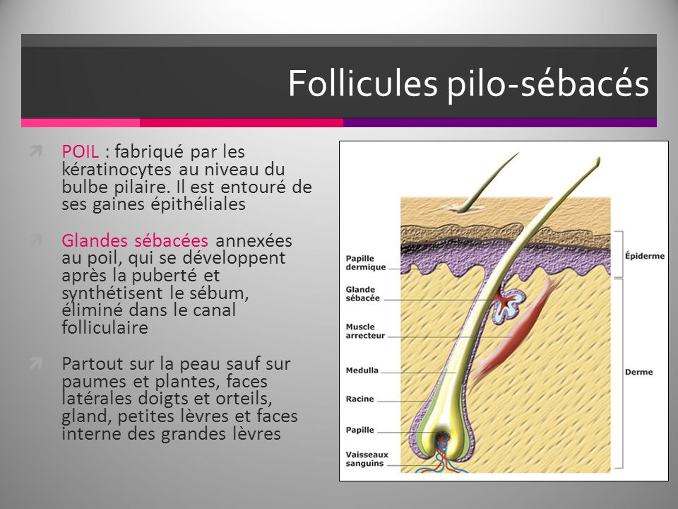 Follicules pilo-sébacés