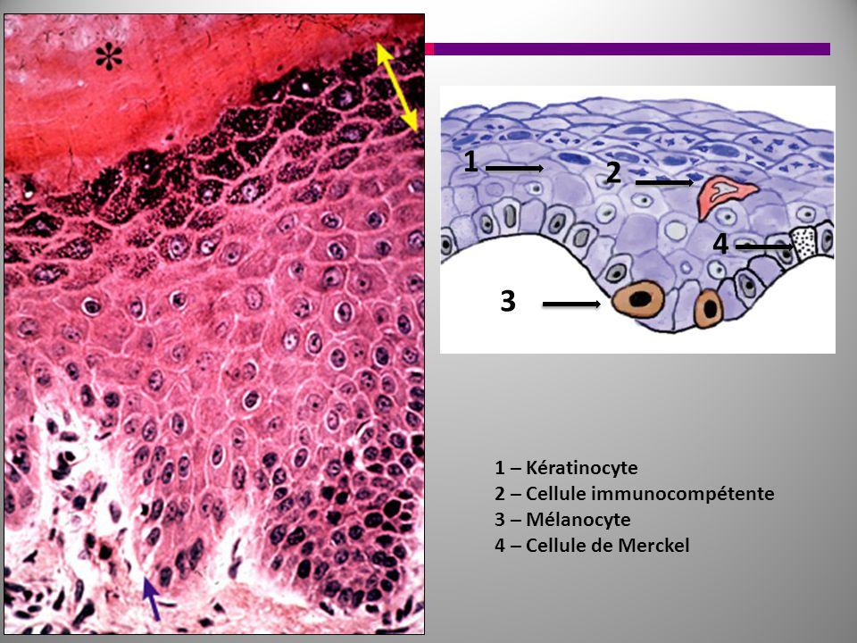 1 2 4 3 1 – Kératinocyte 2 – Cellule immunocompétente 3 – Mélanocyte