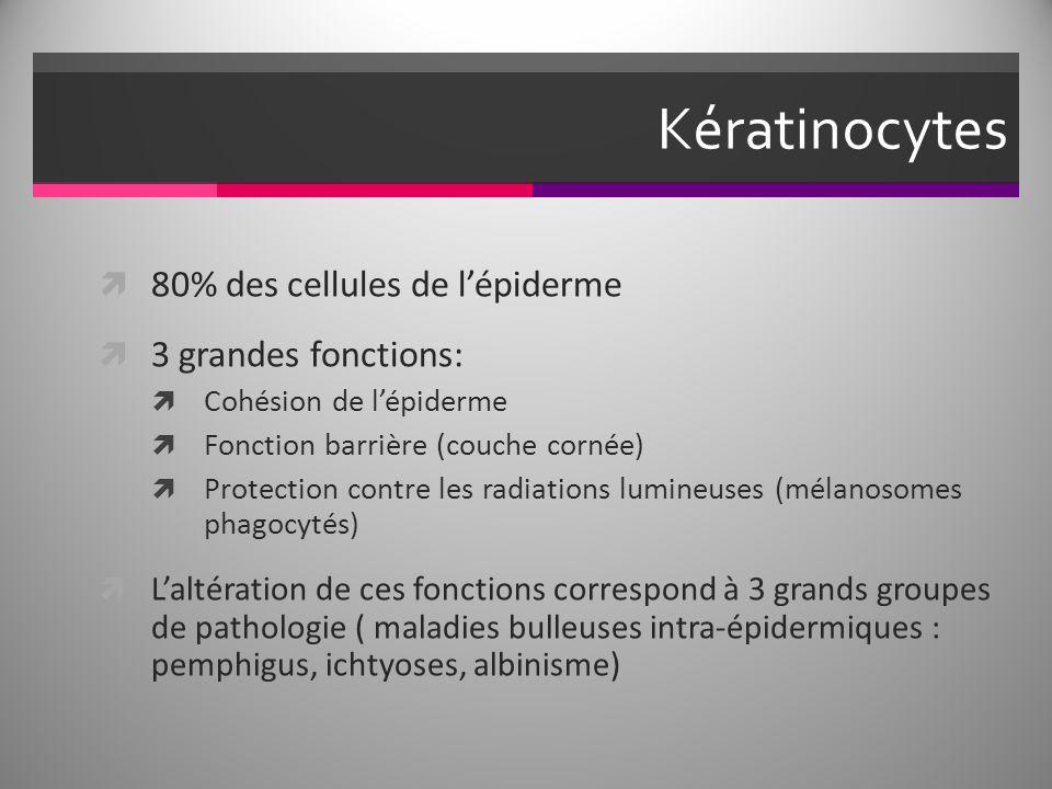 Kératinocytes 80% des cellules de l'épiderme 3 grandes fonctions: