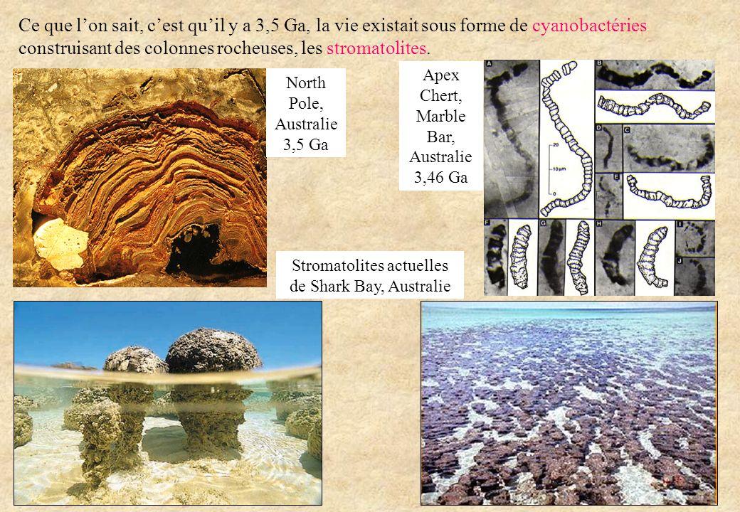 Ce que l'on sait, c'est qu'il y a 3,5 Ga, la vie existait sous forme de cyanobactéries construisant des colonnes rocheuses, les stromatolites.