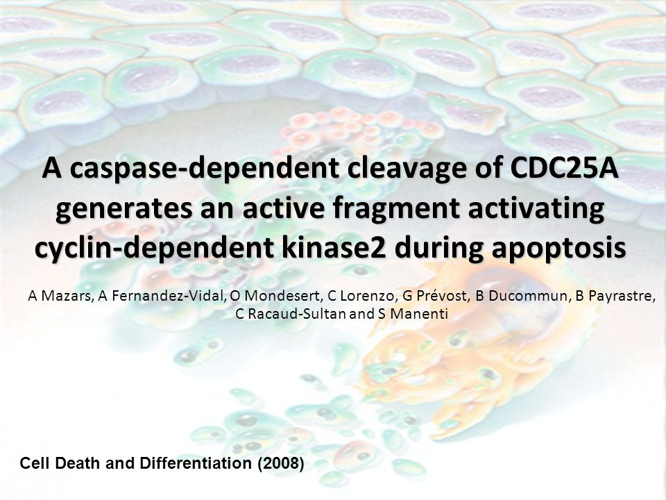 A caspase-dependent cleavage of CDC25A generates an active fragment activating cyclin-dependent kinase2 during apoptosis
