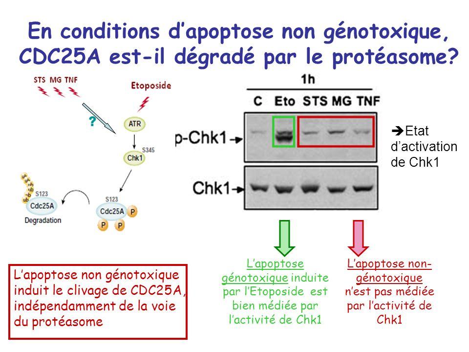 En conditions d'apoptose non génotoxique, CDC25A est-il dégradé par le protéasome