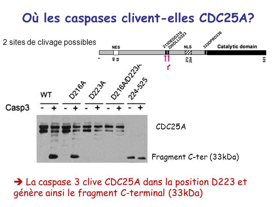 Où les caspases clivent-elles CDC25A