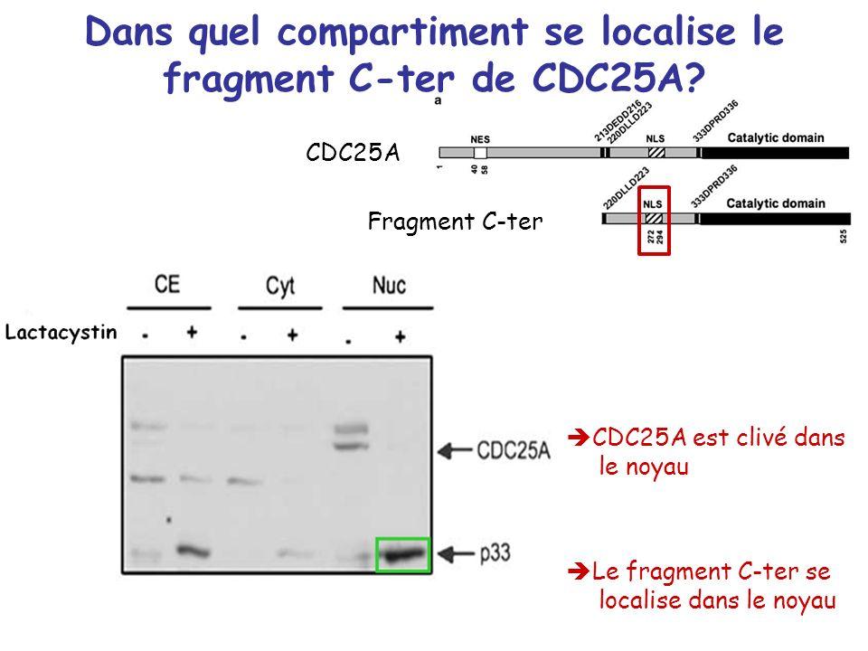 Dans quel compartiment se localise le fragment C-ter de CDC25A