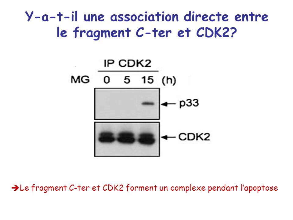Y-a-t-il une association directe entre le fragment C-ter et CDK2