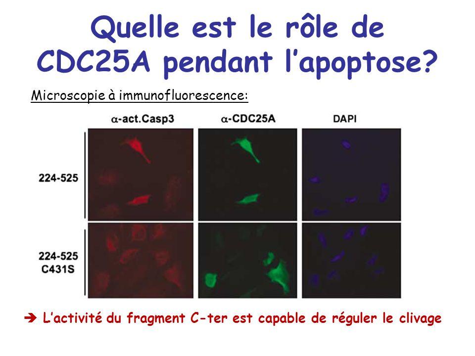 Quelle est le rôle de CDC25A pendant l'apoptose