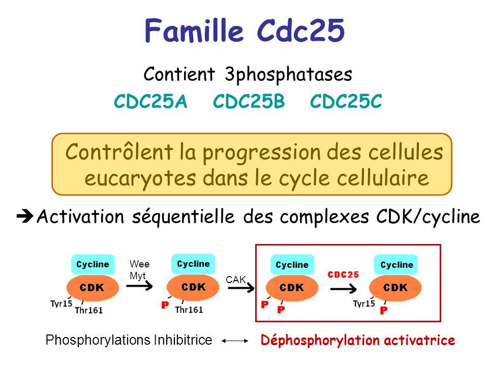 Famille Cdc25 Contient 3phosphatases. CDC25A CDC25B CDC25C. Contrôlent la progression des cellules eucaryotes dans le cycle cellulaire.