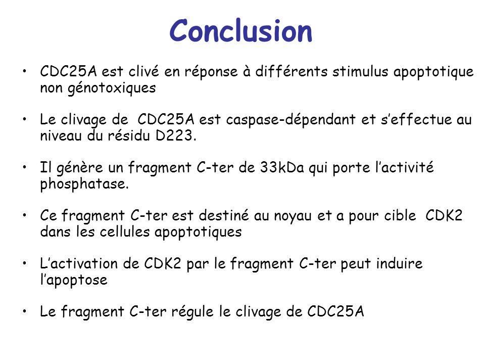 ConclusionCDC25A est clivé en réponse à différents stimulus apoptotique non génotoxiques.