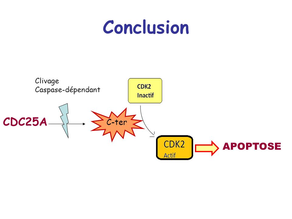 Conclusion CDC25A APOPTOSE C-ter Clivage Caspase-dépendant
