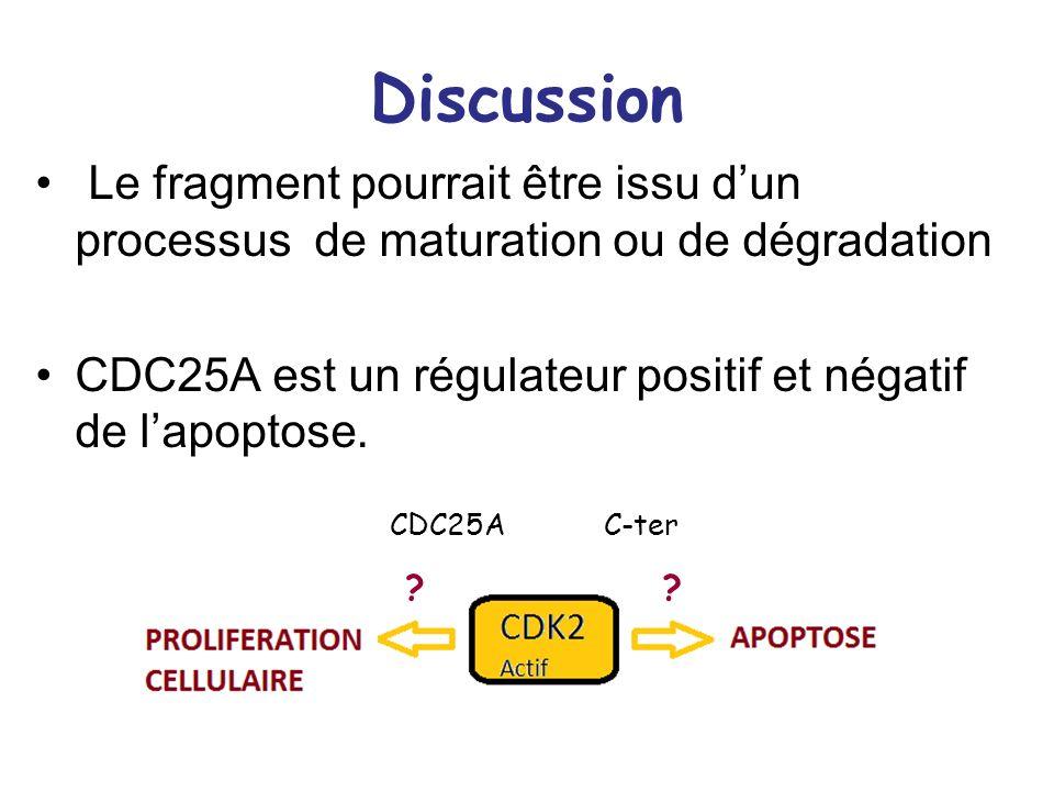 Discussion Le fragment pourrait être issu d'un processus de maturation ou de dégradation.