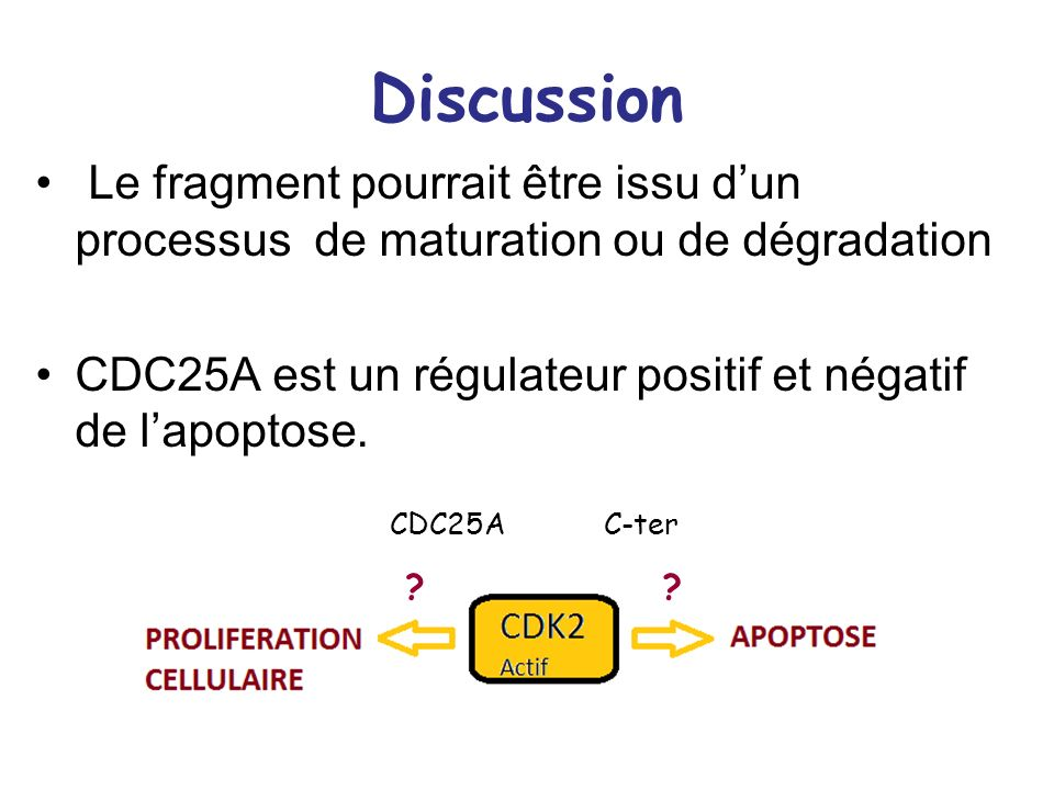 DiscussionLe fragment pourrait être issu d'un processus de maturation ou de dégradation. CDC25A est un régulateur positif et négatif de l'apoptose.