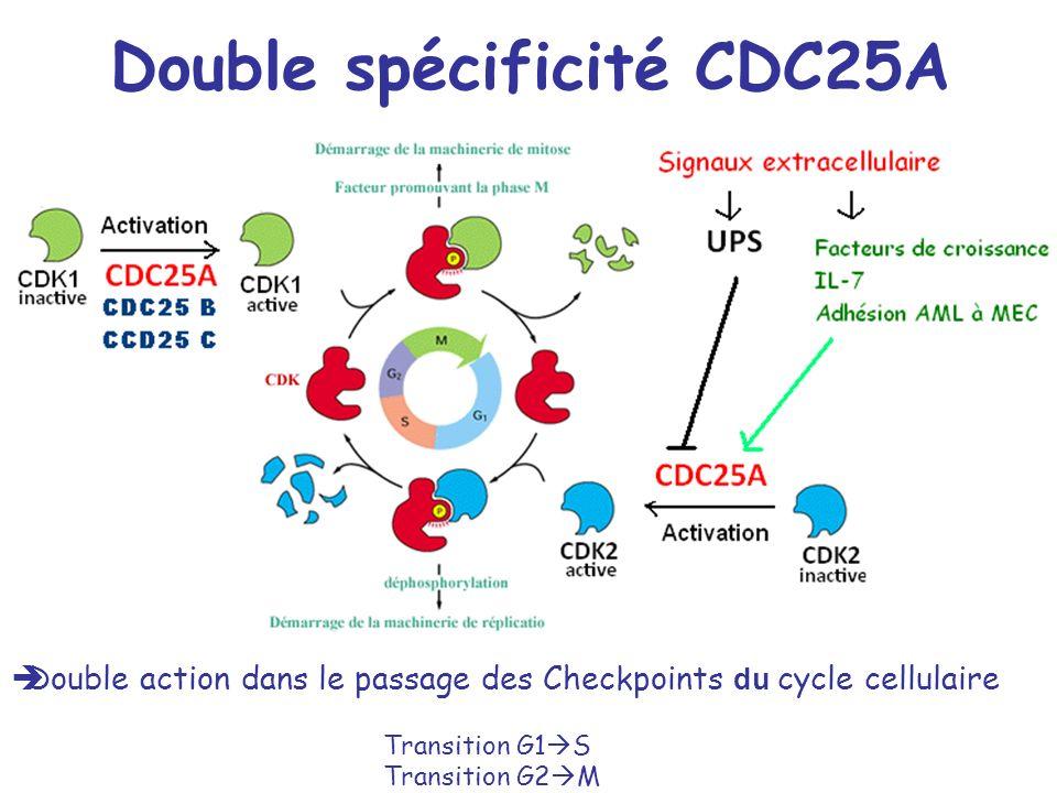 Double spécificité CDC25A