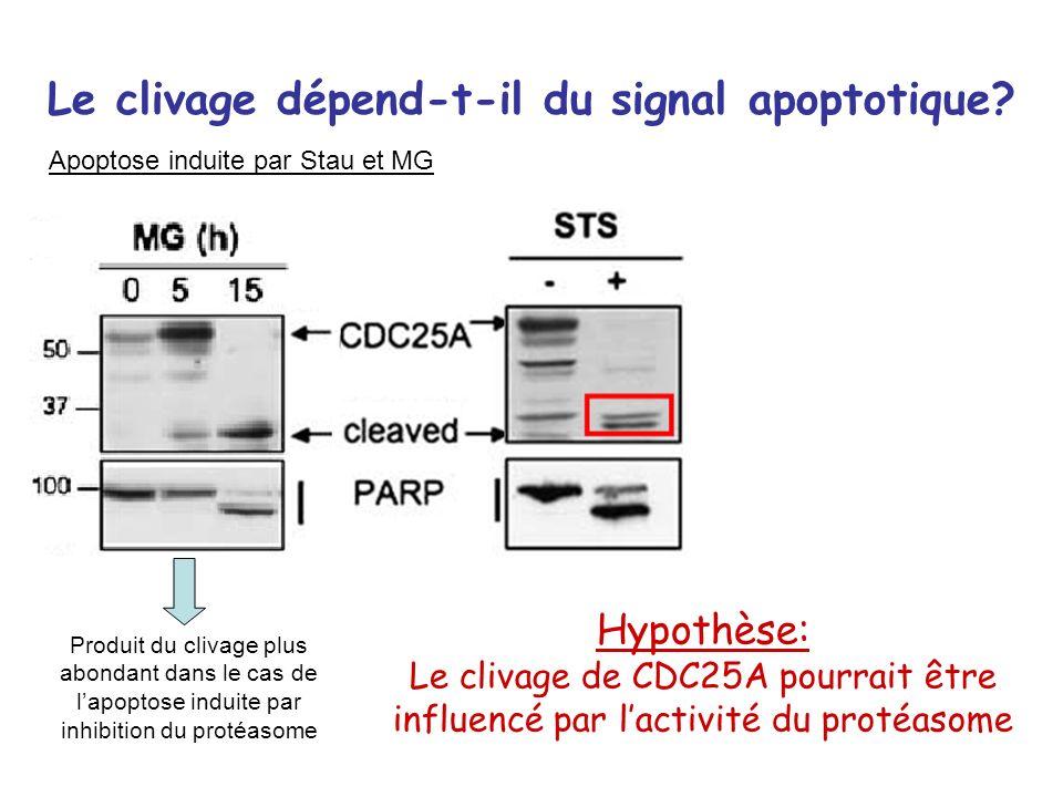 Le clivage dépend-t-il du signal apoptotique