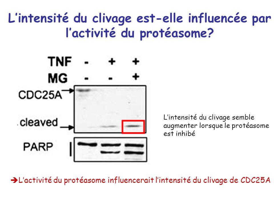 L'intensité du clivage est-elle influencée par l'activité du protéasome