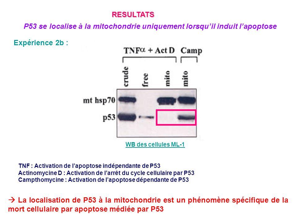 RESULTATS P53 se localise à la mitochondrie uniquement lorsqu'il induit l'apoptose. Expérience 2b :