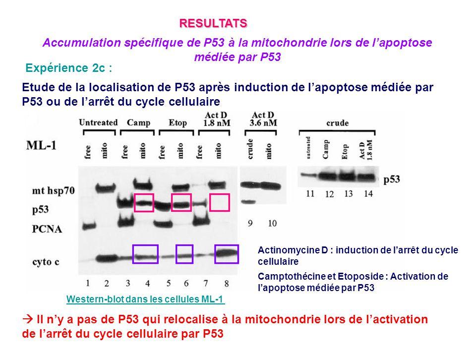 RESULTATS Accumulation spécifique de P53 à la mitochondrie lors de l'apoptose médiée par P53. Expérience 2c :