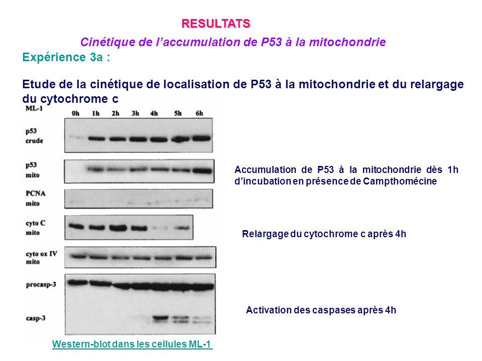 Cinétique de l'accumulation de P53 à la mitochondrie