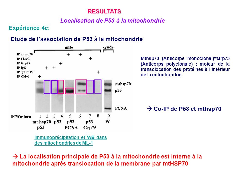 Localisation de P53 à la mitochondrie