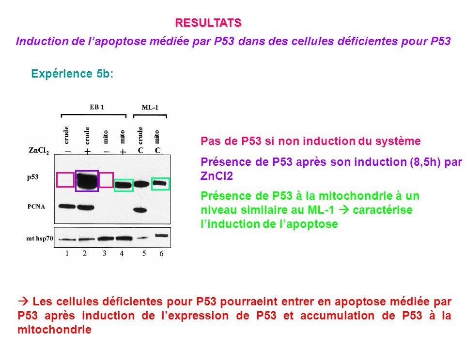 RESULTATS Induction de l'apoptose médiée par P53 dans des cellules déficientes pour P53. Expérience 5b: