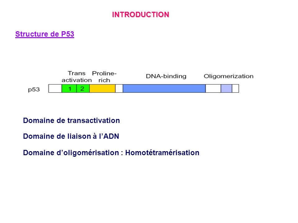 INTRODUCTION Structure de P53. Domaine de transactivation.