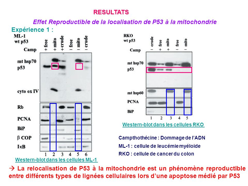 Effet Reproductible de la localisation de P53 à la mitochondrie