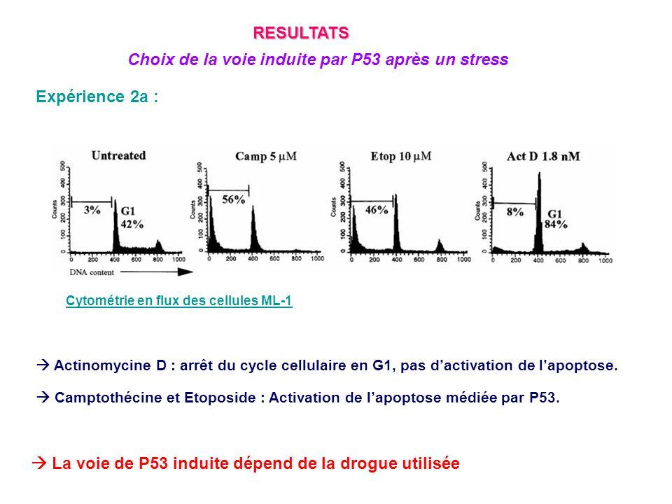 Choix de la voie induite par P53 après un stress