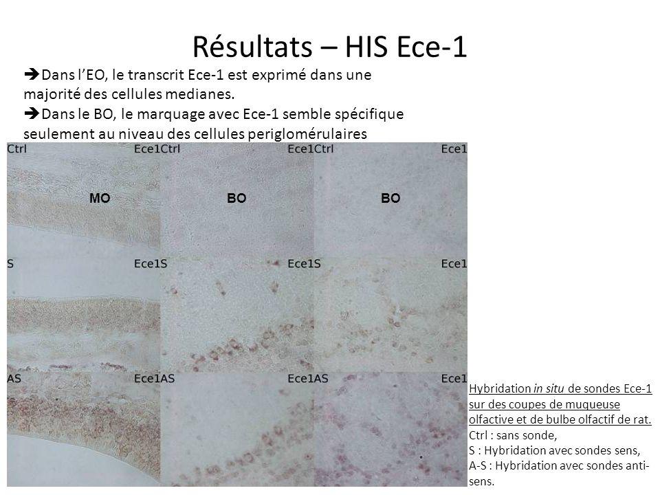 Résultats – HIS Ece-1 Dans l'EO, le transcrit Ece-1 est exprimé dans une majorité des cellules medianes.