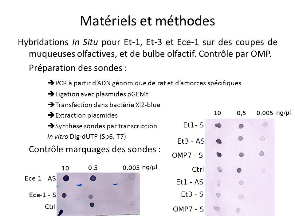 Matériels et méthodes Hybridations In Situ pour Et-1, Et-3 et Ece-1 sur des coupes de muqueuses olfactives, et de bulbe olfactif. Contrôle par OMP.