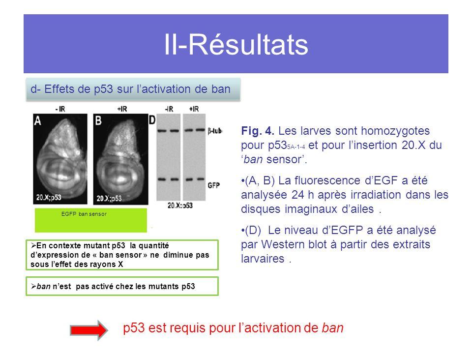 II-Résultats p53 est requis pour l'activation de ban